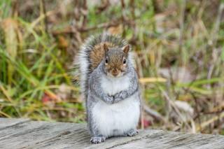 AdobeStock_squirrel