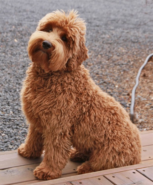Procurement and SMB Suppliers: Corporate Labradoodle?