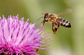 Procurement depends on the honey bee